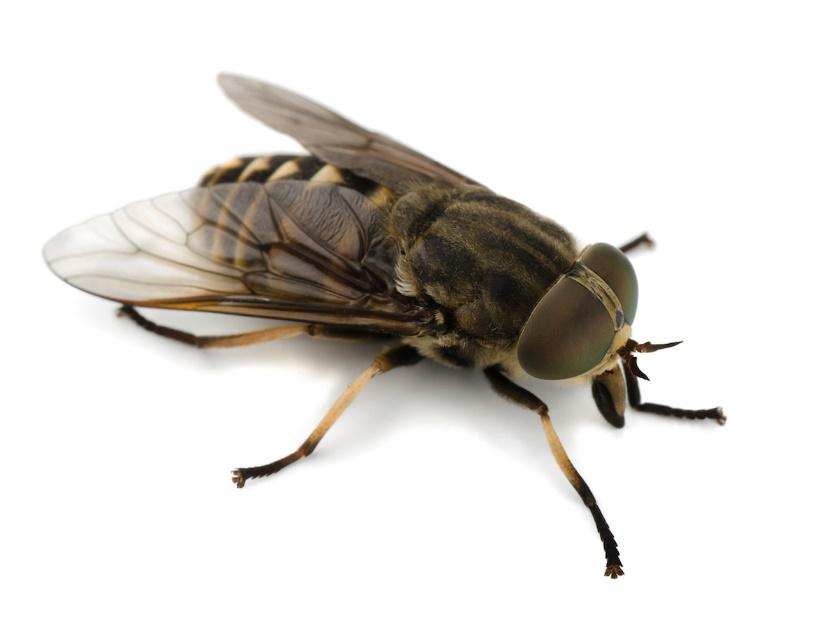 Horsefly Bites! What you need to Know!